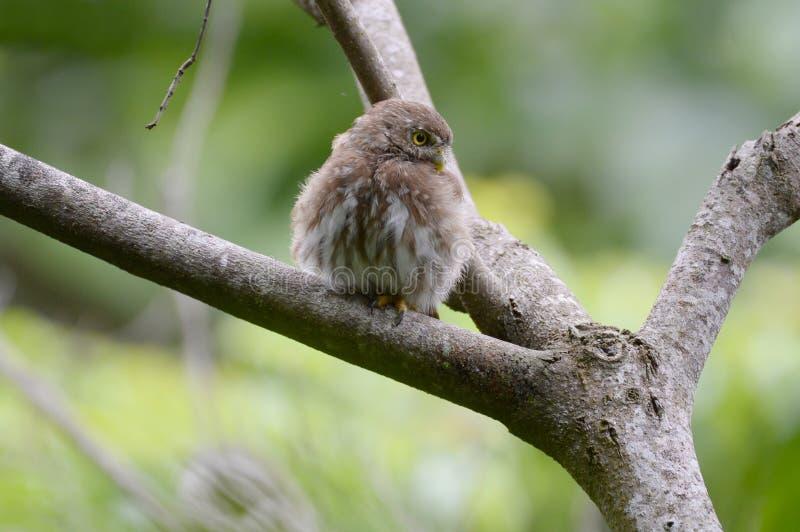 在树枝的铁的矮小猫头鹰Glaucidium brasilianum 免版税库存图片