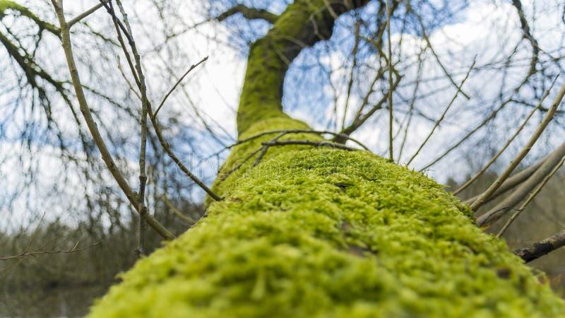 在树枝的青苔 免版税库存照片