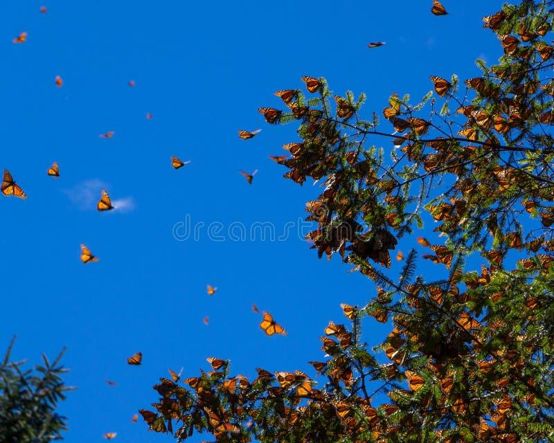 在树枝的黑脉金斑蝶在蓝天背景中 库存图片