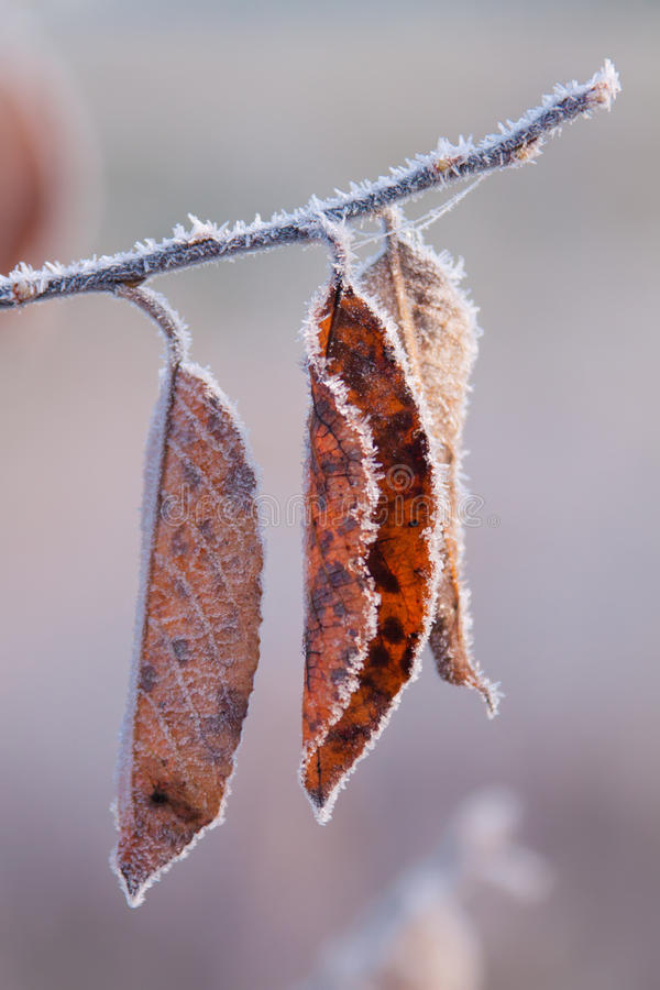 在树枝的结霜的秋叶 用FrostTree盖的几片秋天桔子叶子分支与黄色叶子和冰 关闭 库存图片
