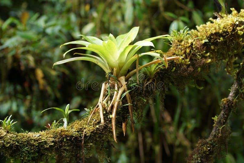在树枝的Bromeliad 库存图片