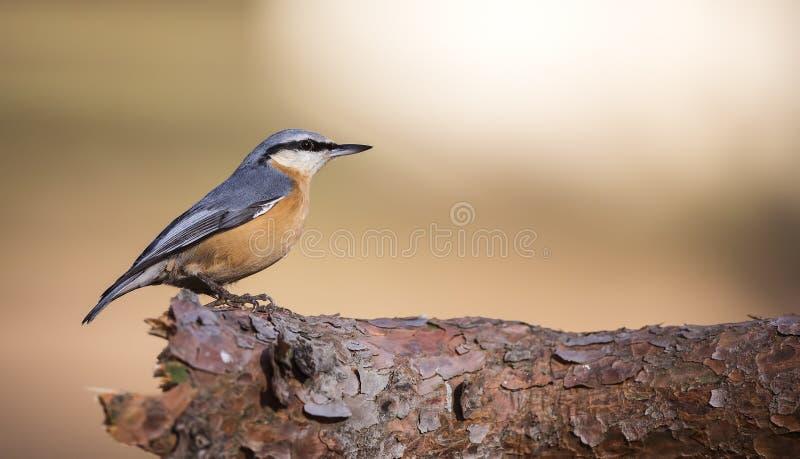在树枝(五子雀类europaea)的五子雀 库存照片