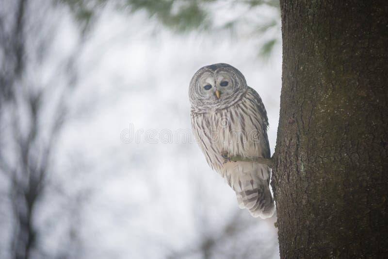 在树栖息的一头美丽的猫头鹰 库存照片