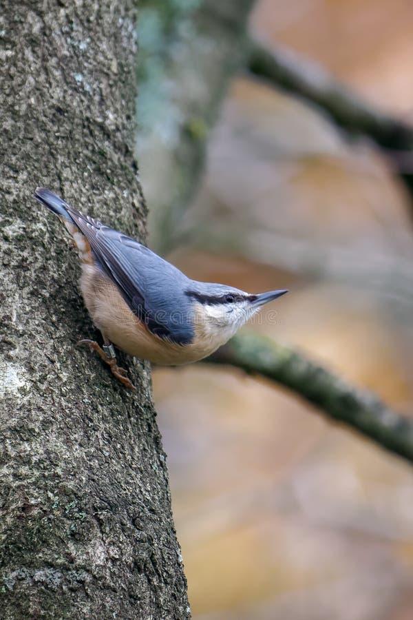 在树栖息的五子雀 库存照片