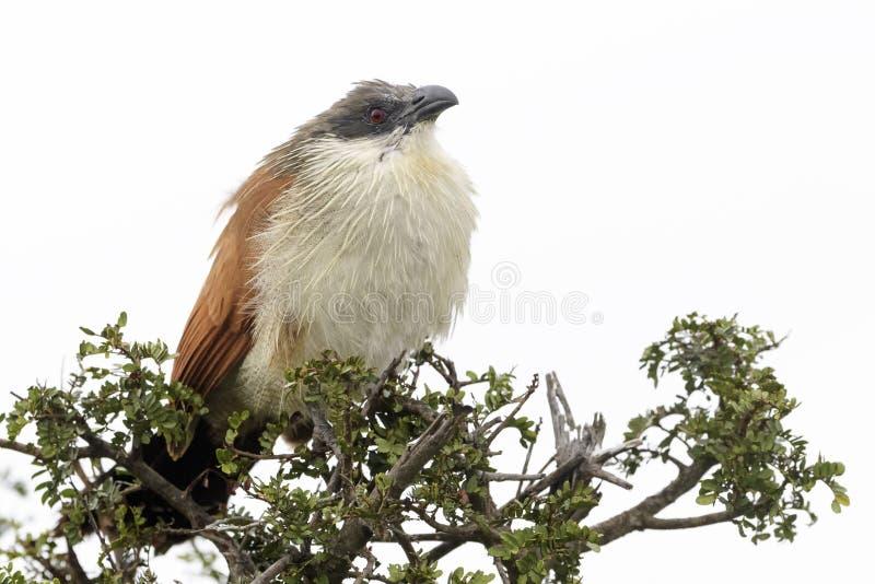 在树栖息的伯切尔的coucal 免版税图库摄影