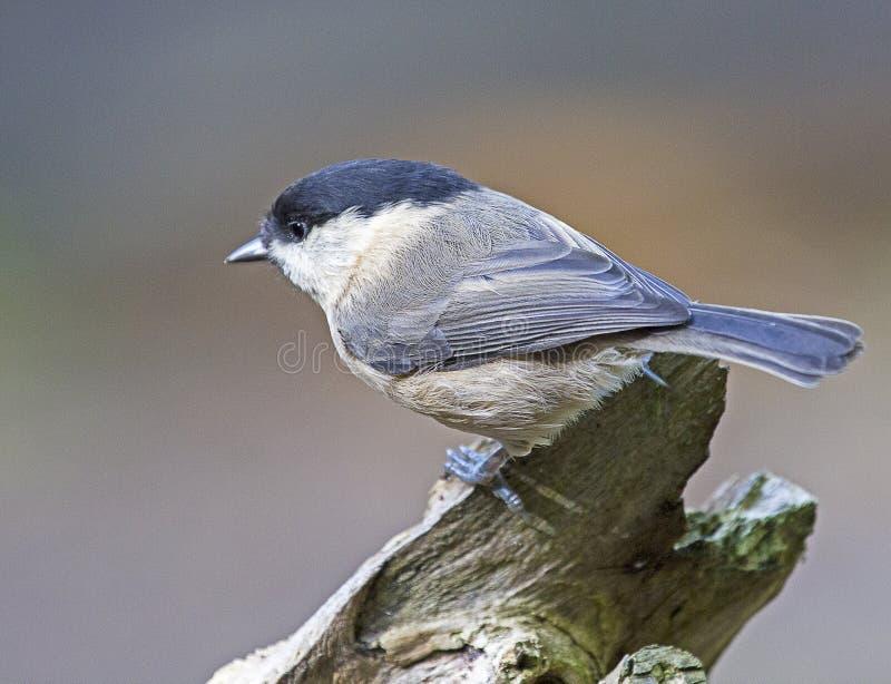 在树栖息的杨柳山雀鸟 库存照片