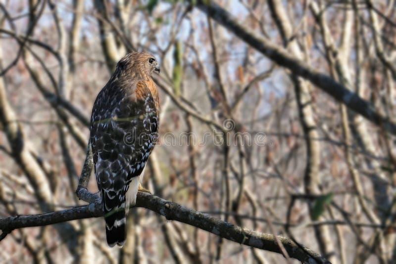 在树栖息的红被盯梢的鹰鵟鸟jamaicensis 免版税库存图片
