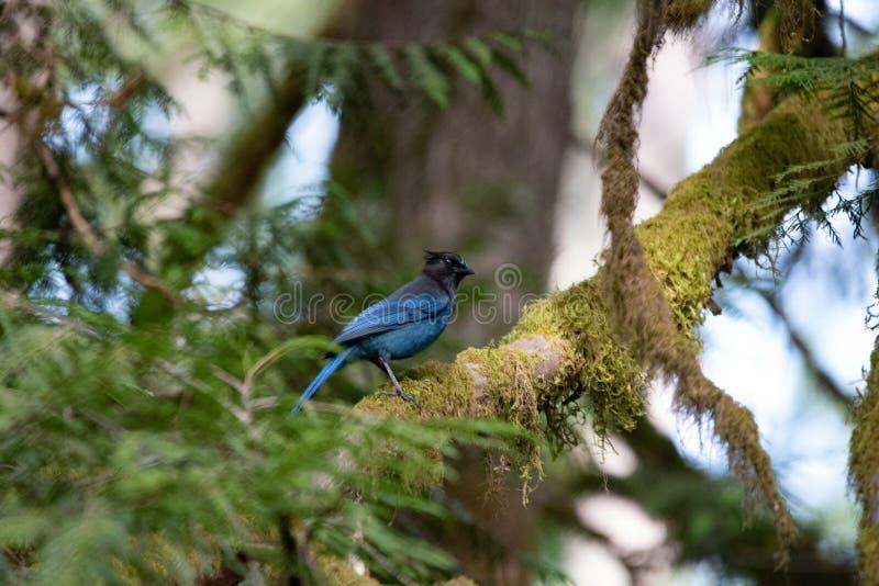 在树栖息的Steller的杰伊 库存照片