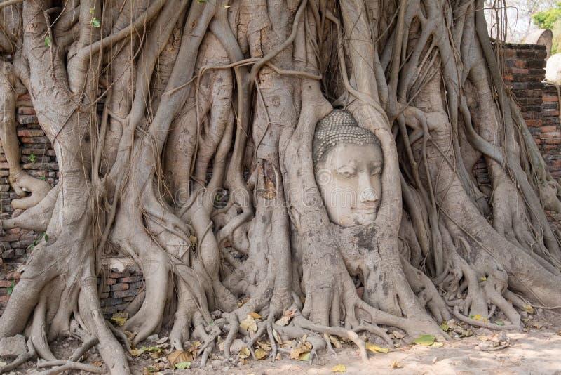 在树根的菩萨头在寺庙 库存图片