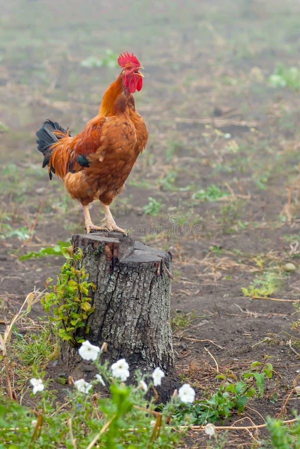 在树桩尖叫的红色公鸡 免版税库存照片