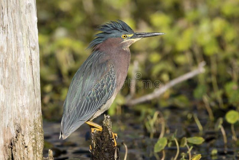 在树桩栖息的绿色苍鹭-佛罗里达 库存照片