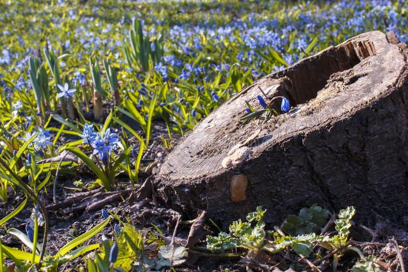 在树桩的一点蓝色花在第一春天野花中 免版税库存图片