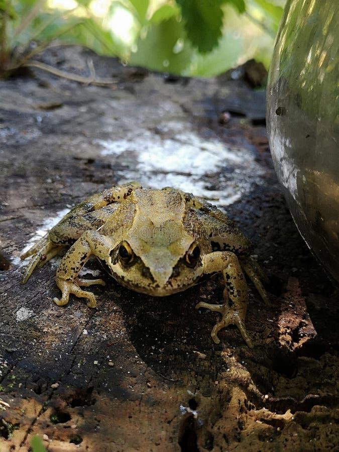 在树桩的共同的青蛙 蛙属temporaria在庭院里 图库摄影