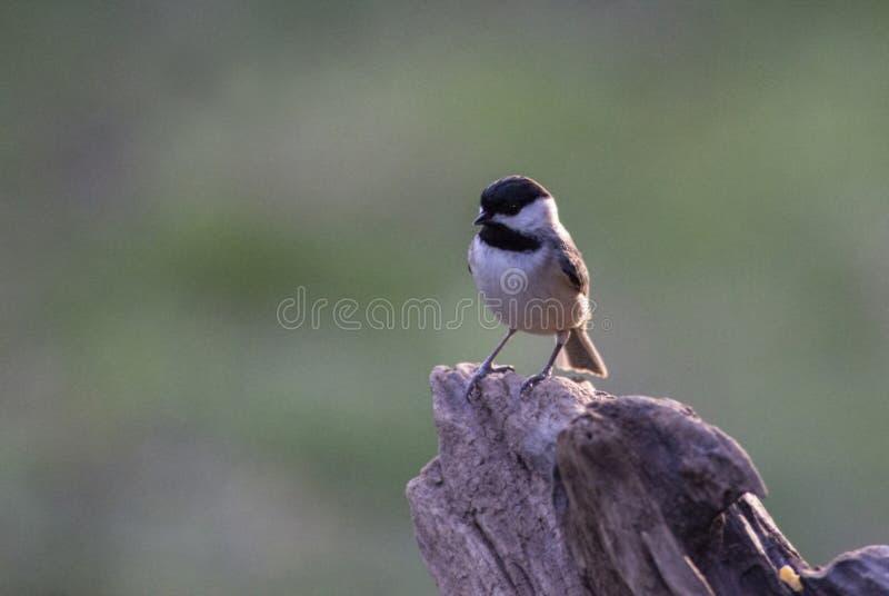 在树桩的小的黑加盖的山雀栖息处 免版税库存照片