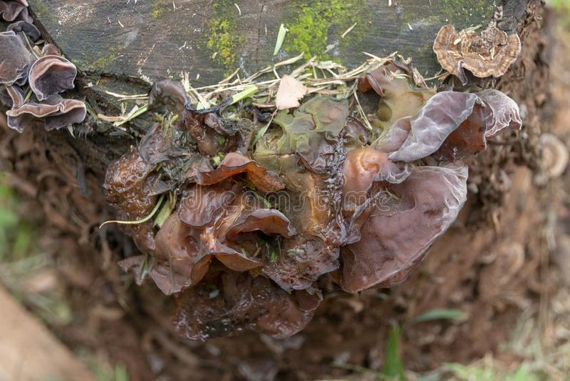 在树桩的真菌 库存图片