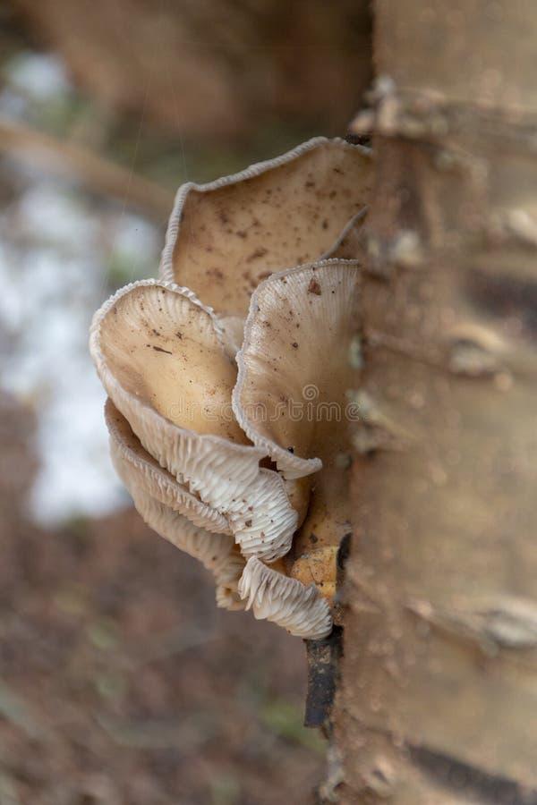 在树桩的真菌 免版税库存照片