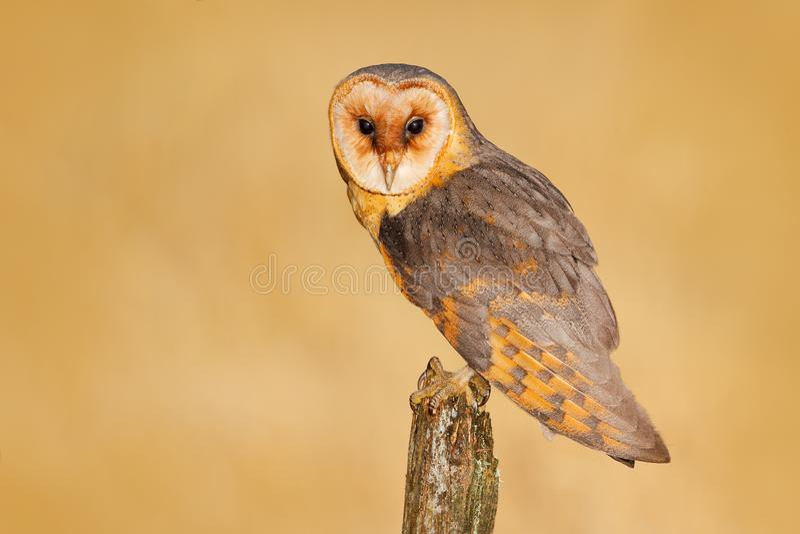 在树桩的谷仓猫头鹰晚上 美丽的鸟在自然栖所 从自然的野生生物场面 猫头鹰,清楚的背景 晚上 免版税图库摄影