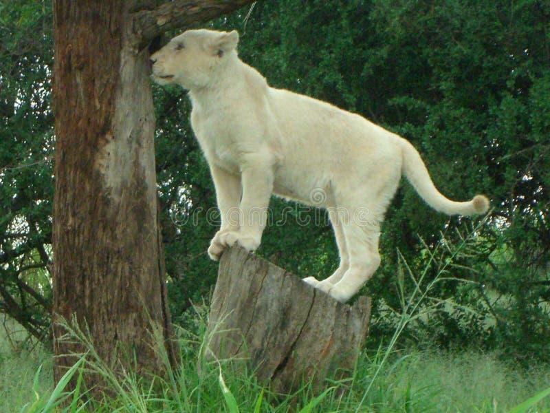 在树桩的婴孩白色狮子在非洲 免版税库存照片