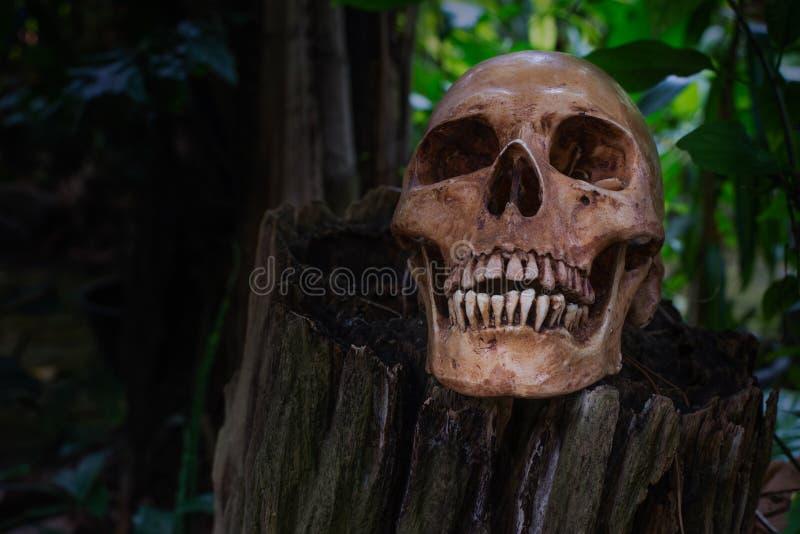 在树桩的头骨在木头 免版税图库摄影