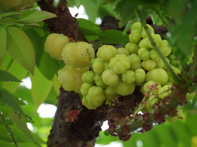 在树水下落的星鹅莓表面上在雨秋天以后 免版税图库摄影