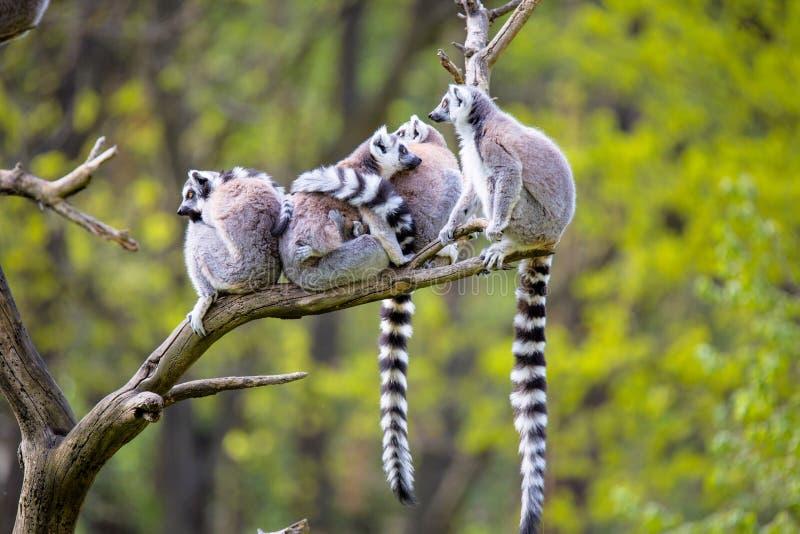 在树环纹尾的狐猴的小组,狐猴catta, 免版税库存照片