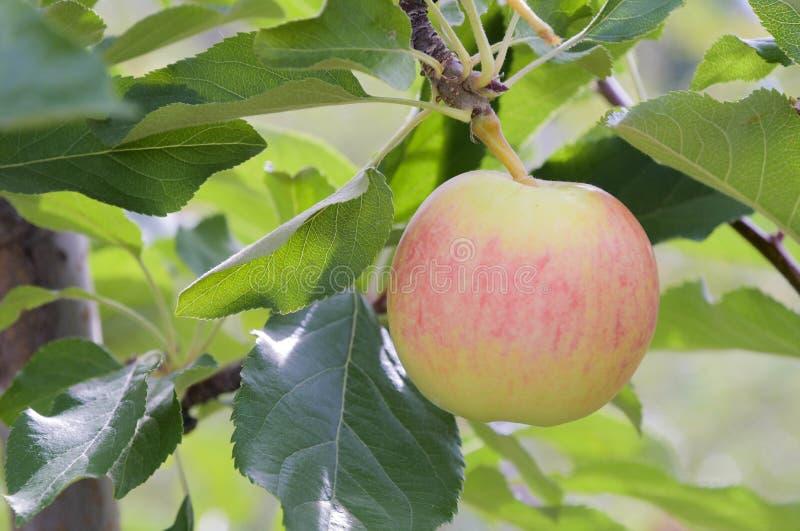 在树的一个宝拉红色苹果 免版税库存照片