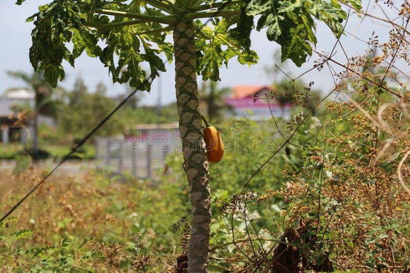 在树的一个成熟番木瓜看很可口 库存照片