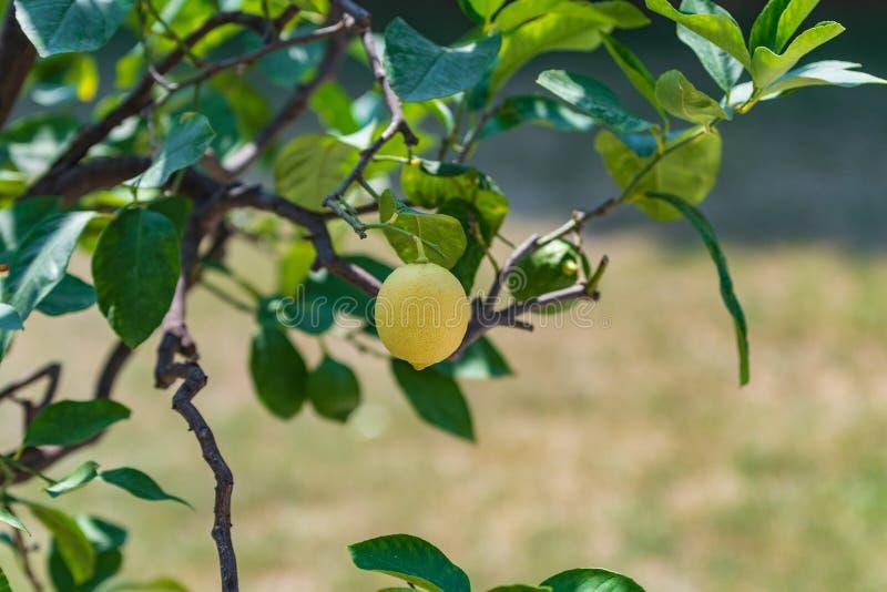 在树的一个黄色柠檬 图库摄影