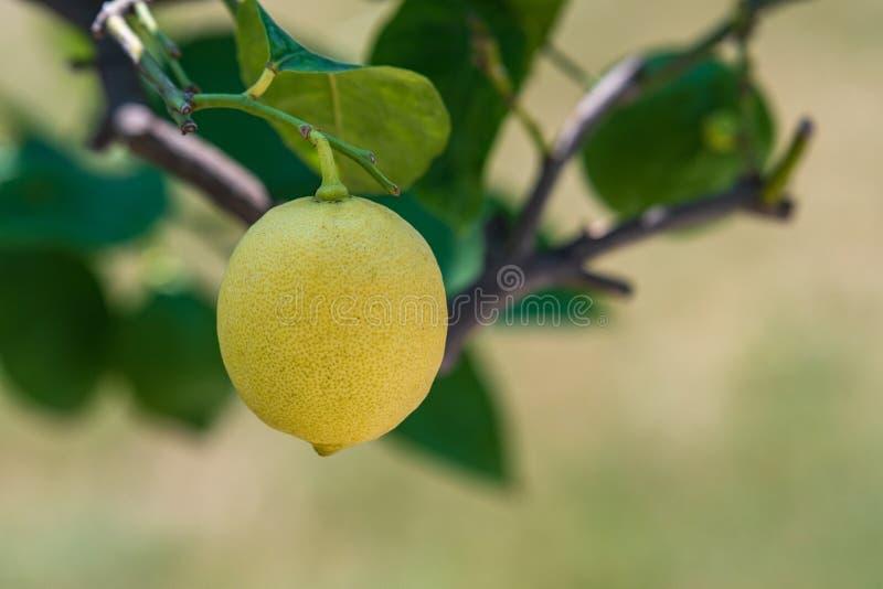 在树的一个黄色柠檬 库存照片