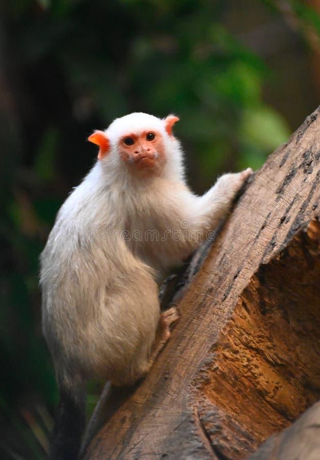 在树的一只罕见的猴子银色小猿 图库摄影