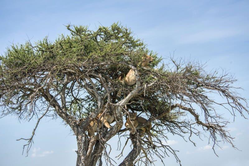 在树的三头狮子 免版税图库摄影