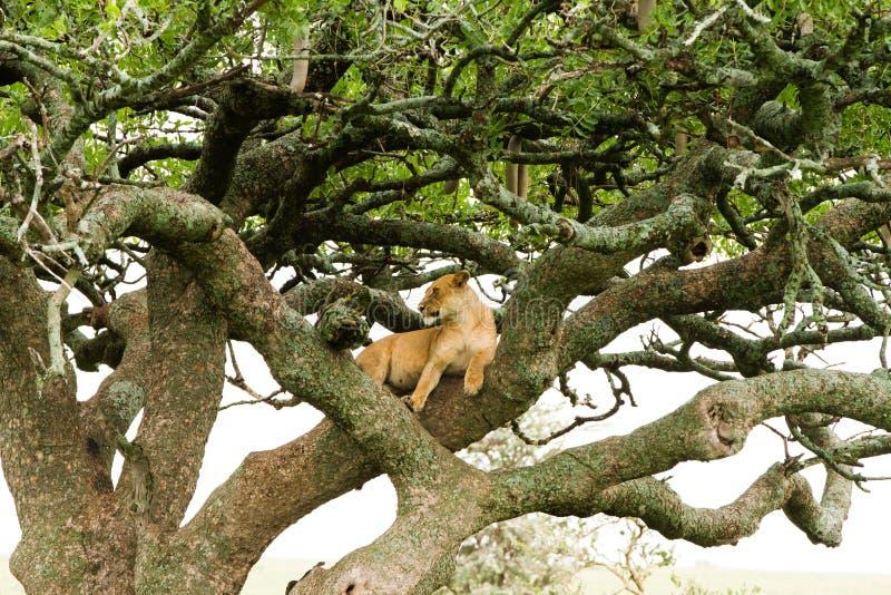 在树的东部非洲雌狮豹属利奥 免版税库存图片