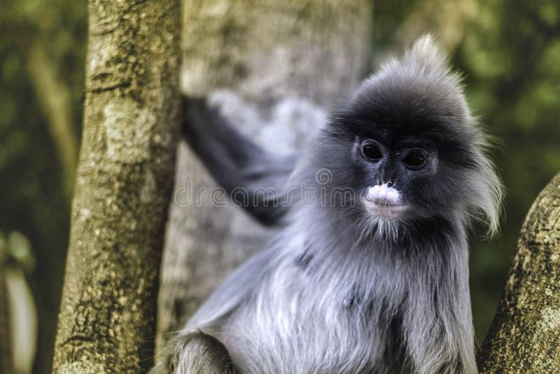 在树的也Colobinae灰色叶猴长尾的猴子 库存图片