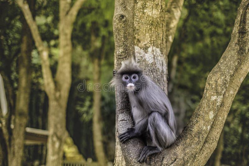 在树的也Colobinae灰色叶猴长尾的猴子 免版税库存照片