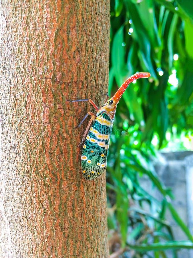 在树的五颜六色的昆虫蝉或Lanternflies Pyrops坎德拉里亚角昆虫本质上可以被找到常青加尔德角 免版税库存照片