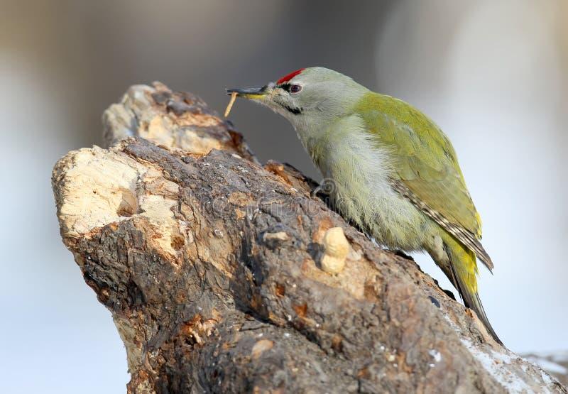 在树的公灰色啄木鸟吃一只蠕虫 免版税库存图片