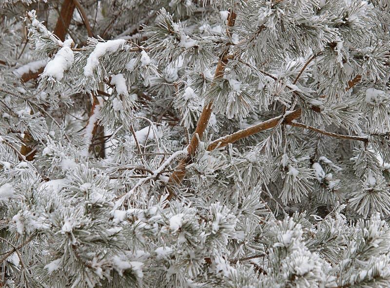 在树的冬天霜 免版税库存照片