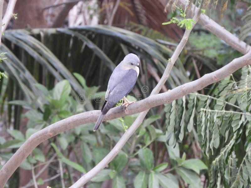 在树的分支栖息的鸟sayaca唐纳雀 库存图片