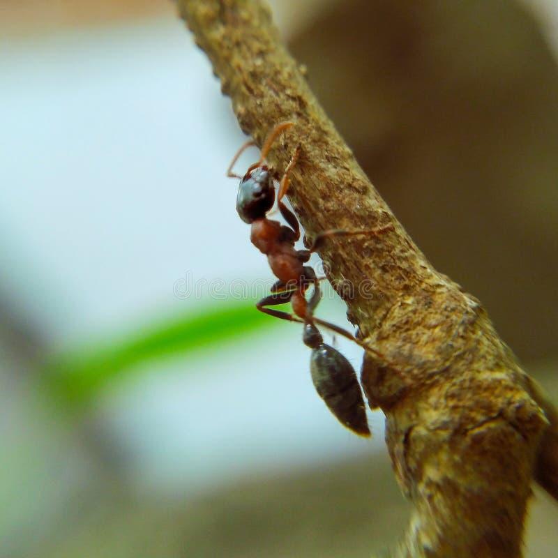 在树的分支的一只蚂蚁 图库摄影