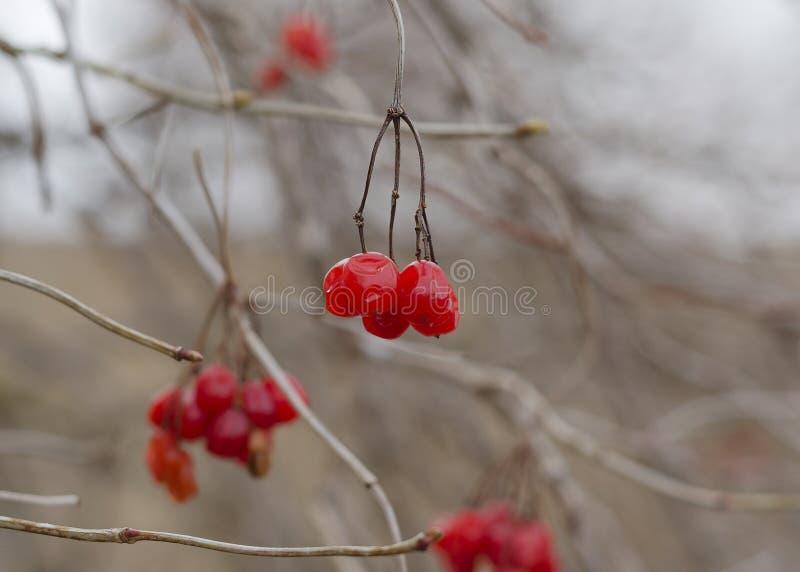 在树的分支的荚莲属的植物 库存图片