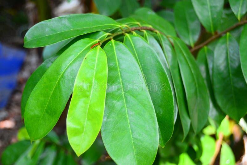在树的刺番荔枝叶子.图片