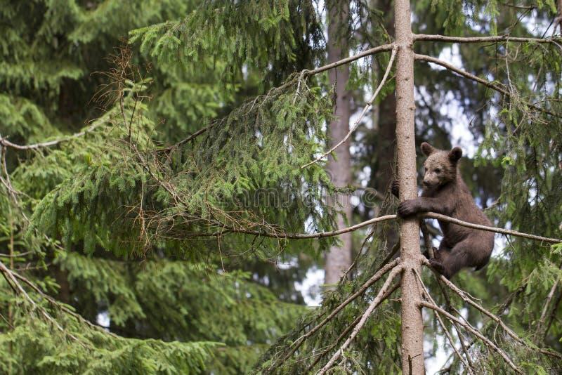 在树的单独婴孩熊 免版税库存图片