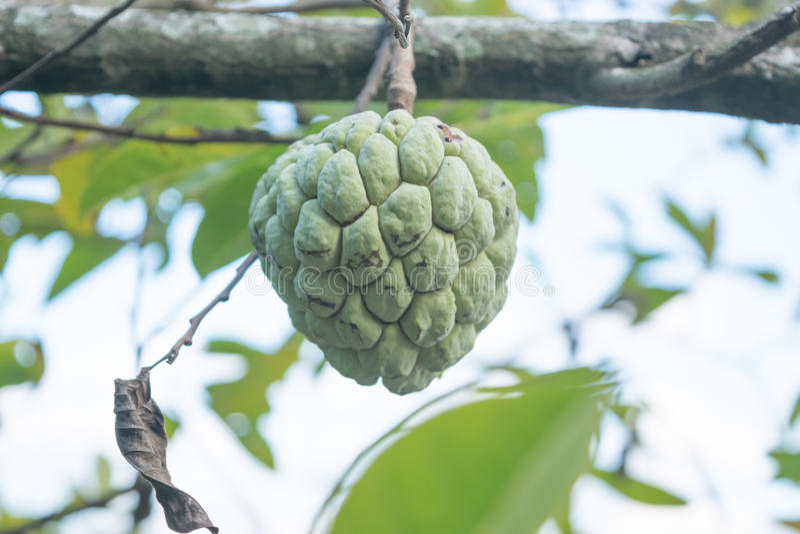 Download 在树的南美番荔枝 库存照片. 图片 包括有 brander, 结构树, 问题的, 果子, 生长, 乳蛋糕 - 62528642