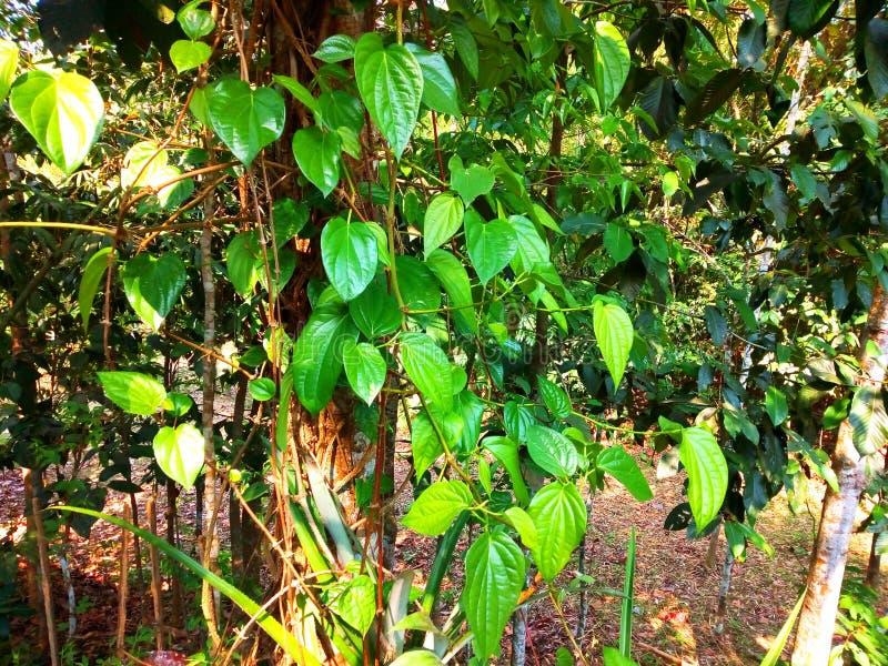 在树的可口paan叶子在健康生长 免版税图库摄影
