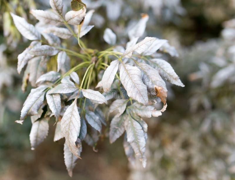在树的叶子的疾病 图库摄影