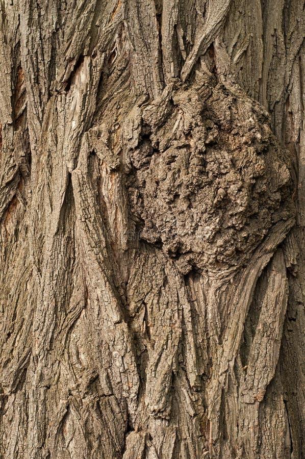 在树的吠声的结 金合欢吠声纹理 库存照片