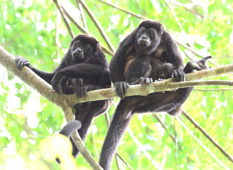 在树的吼猴队伍与婴孩, corcovad0,哥斯达黎加 免版税库存图片
