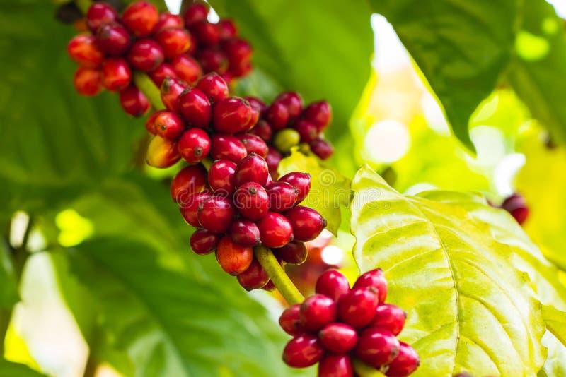 在树的咖啡豆 免版税库存照片