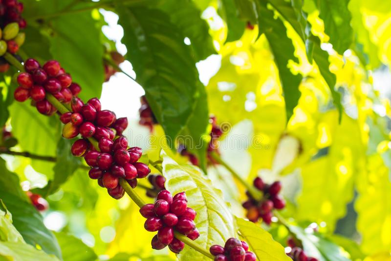在树的咖啡豆 库存照片