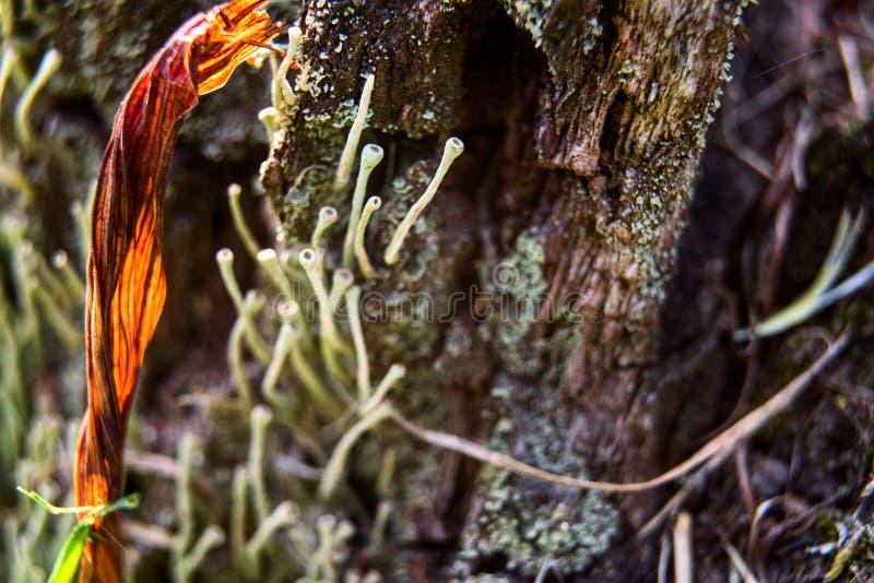 在树的地衣输送管 免版税图库摄影